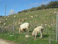 frazione di Buseto Palizzolo - gregge al pascolo - 18 gennaio 2009   - Bruca (5220 clic)