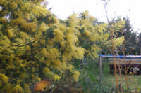 mimosa - 13 febbraio 2009   - Castellammare del golfo (2064 clic)