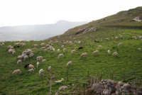 gregge di pecore in montagna - 9 novembre 2008   - Caltabellotta (2037 clic)
