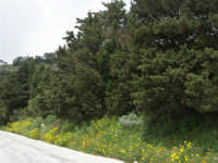 monte Erice - ai margini del bosco - 1 maggio 2009  - Erice (2178 clic)