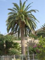 palma nel giardino del Santuario della Madonna dei Miracoli - 6 settembre 2008   - Alcamo (677 clic)