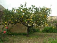 limone - 1 febbraio 2009   - Buseto palizzolo (6482 clic)