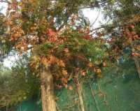 colori autunnali - 8 novembre 2009   - Trappeto (4263 clic)