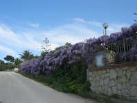 Guidaloca - viale con glicine - 5 aprile 2009  - Castellammare del golfo (1710 clic)