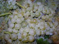 tempo di vendemmia: uva da mosto (racina). . . con coccinella - 10 settembre 2008  - Castellammare del golfo (1743 clic)