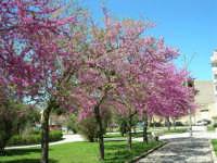 Alberi in fiore nella villa di Piazza della Repubblica - 3 aprile 2006  - Alcamo (1490 clic)