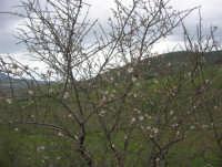 mandorlo in fiore e panorama della campagna alcamese  - 15 febbraio 2009   - Alcamo (1902 clic)