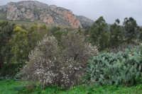 flora alle falde del monte Inici - 24 gennaio 2009  - Castellammare del golfo (1685 clic)