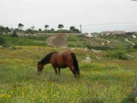 monte Erice: cavallo al pascolo - 25 aprile 2006   - Erice (1443 clic)