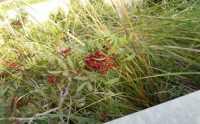su per la montagna nei pressi della Baia di Guidaloca - flora - 8 dicembre 2009   - Castellammare del golfo (1808 clic)