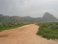 Golfo del Cofano - gregge - 29 marzo 2009  - San vito lo capo (1596 clic)