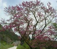sul monte Erice - albero fiorito - 1 maggio 2009  - Erice (2620 clic)