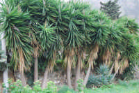 flora alle falde del monte Inici - 24 gennaio 2009  - Castellammare del golfo (2566 clic)