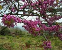 sul monte Erice - albero fiorito - particolare - 1 maggio 2009  - Erice (2792 clic)