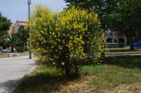 la ginestra in fiore nella villa di Piazza della Repubblica - 17 maggio 2008  - Alcamo (666 clic)