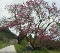 sul monte Erice - albero fiorito - 1 maggio 2009  - Erice (2351 clic)