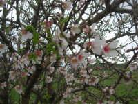 mandorlo in fiore - 15 febbraio 2009   - Alcamo (3327 clic)