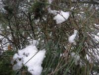 neve sul monte Bonifato - Riserva Naturale Orientata Bosco d'Alcamo - particolare - 15 febbraio 2009  - Alcamo (2319 clic)