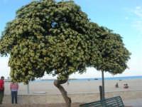 albero in fiore e spiaggia - 10 maggio 2009    - San vito lo capo (1762 clic)