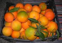 arance appena raccolte - 2 novembre 2008   - Alcamo (1723 clic)