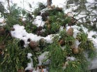 neve sul monte Bonifato - Riserva Naturale Orientata Bosco d'Alcamo - particolare - 15 febbraio 2009  - Alcamo (1773 clic)