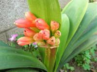 Boccioli di fiore nel nostro giardino - 26 marzo 2006  - Alcamo (1250 clic)