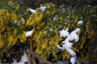 neve sul monte Bonifato - Riserva Naturale Orientata Bosco d'Alcamo - mimosa - 15 febbraio 2009   - Alcamo (3428 clic)
