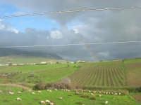 gregge al pascolo - la campagna - 1 febbraio 2009   - Buseto palizzolo (2154 clic)