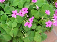 Fiori nel nostro giardino - 26 marzo 2006  - Alcamo (1257 clic)