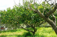albero di limoni - 25 marzo 2007  - Alcamo (9036 clic)