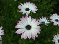 Margheritone nel nostro giardino - 26 marzo 2006  - Alcamo (1243 clic)