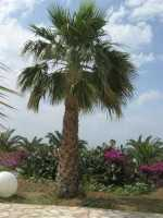 palme, ficodindia e buganvillea - 7 giugno 2009   - Partinico (4101 clic)