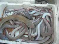 al porto - pesci - 7 dicembre 2009  - Sciacca (4486 clic)