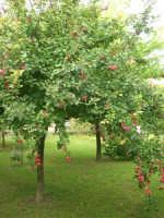 Casarsa della Delizia (PN) - melo ornamentale nel giardino del Bed & Breakfast THE COTTAGE - 23 agosto 2006  - Alcamo (7145 clic)