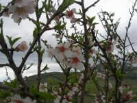 mandorlo in fiore - 15 febbraio 2009   - Alcamo (2935 clic)