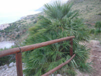 Riserva Naturale Orientata Zingaro - palma nana sul sentiero - 24 febbraio 2008  - Riserva dello zingaro (932 clic)