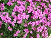 fiori del nostro giardino - 17 aprile 2006  - Alcamo (1189 clic)