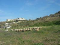 periferia ovest - gregge - 15 marzo 2009   - Balestrate (3472 clic)