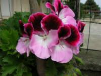 geranio del nostro giardino - 17 aprile 2006  - Alcamo (1173 clic)