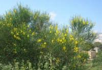 ginestra - 3 maggio 2009  - Buseto palizzolo (3173 clic)