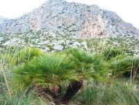 Riserva Naturale Orientata Zingaro - palma nana - 24 febbraio 2008  - Riserva dello zingaro (1302 clic)