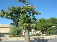 piazza - albero - 4 ottobre 2009   - Partanna (2286 clic)