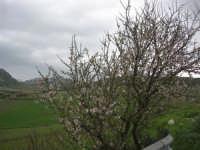 mandorlo in fiore - 15 febbraio 2009   - Alcamo (2679 clic)