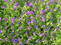 flora - 3 maggio 2009   - Buseto palizzolo (3231 clic)