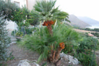 dalla periferia del piccolo borgo alla Riserva dello Zingaro, con palma nana in primo piano - 19 settembre 2007  - Scopello (936 clic)
