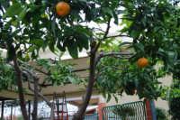 mandaranci - 27 novembre 2008   - Alcamo (1637 clic)