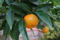 mandaranci - 27 novembre 2008   - Alcamo (1551 clic)