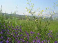 la campagna a primavera - 3 maggio 2009    - Buseto palizzolo (1760 clic)