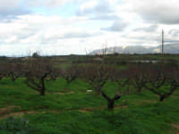 C/da Bosco Falconeria - la campagna - 7 dicembre 2008  - Balestrate (1084 clic)