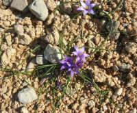 Golfo del Cofano: tra le pietre, delicati fiori - 24 febbraio 2008   - San vito lo capo (1118 clic)